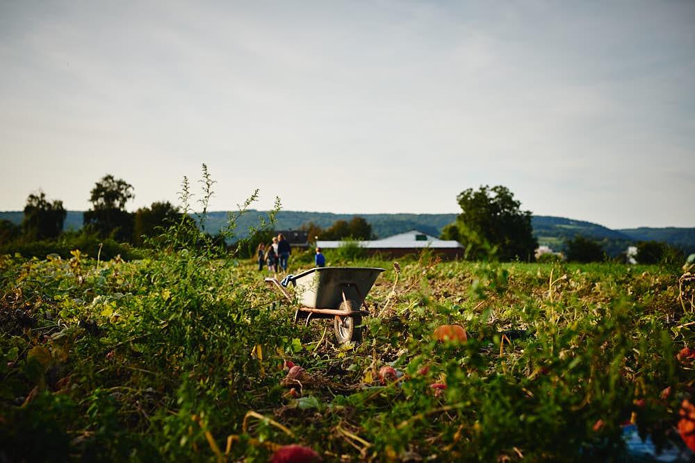 Kürbisfeld Bauernhof Glabach Neuwied